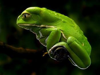 Waxy monkey tree frog viv - Dendroboard